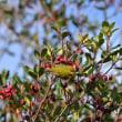 「モッコク」の赤い実を食べるメジロたち!!!・・・日本庭園