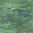 見島発 【本村港岸壁に生息する魚介類】 (*^_^*)/~~~