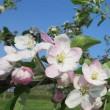 りんごの花が満開です~秋田県横手市~