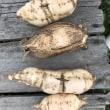 新品種のサツマイモ