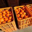 富有柿 収穫シーズン (森田)