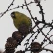 今日の鳥 ミコアイサ マヒワ マヒワは今季初撮り、ミコアイサは遠い