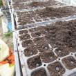 黒枝豆の播種