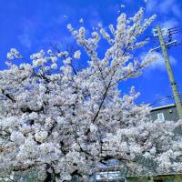 名古屋は桜満開