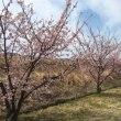 河津桜を眺め、心和む。