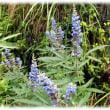 初夏から秋かけての花(^^♪淡い紫色の藤を思わせ花をたくさんつける「フサフジウツギ(房藤空木)」
