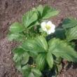 """""""畑っ子クラブ"""" のイチゴ畑 ~ 大きな白い花が咲き始めました (^O^)"""