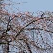 清雲寺のしだれ桜 ~2012/04/10 12:20現在
