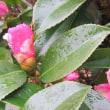 楽書き雑記「名古屋も寒と雨の戻り。控えめな『侘助』に登場してもらいました」