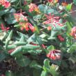 突抜忍冬(つきぬきにんどう)という花
