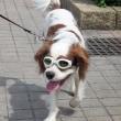 愛犬用サングラス購入、7歳のキャバリエの白内障対策