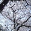 今年も咲いた 近所の桜