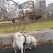 ぽんこ散歩。