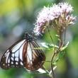<アサギマダラ> 〝渡り蝶〟がわが家の庭に飛来!