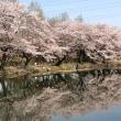 ミニベロ 4/1 桜三昧の朝散輪