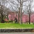 「鶴見緑地公園」で今年初の桜が・・・