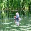 泉の沼のかいつぶり