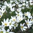 季節の花「玉簾 (たますだれ)」
