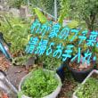 pakuti(chi)の紅葉&ハラミうどん&冬越しミニジャックの豆&ジャンボにんにく・・