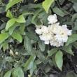 モッコウバラ 木香薔薇 白花八重咲き