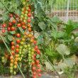 見事なミニトマト