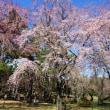 咲始めた枝垂桜・・・敷島公園  3/23誕生花・・・グラジオラス
