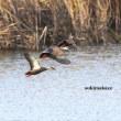 湿原の水鳥達 3