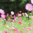 花の国のコスモス