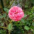 だるま菊にバラに秋の庭&早い方がいいって話