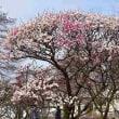 堺市・荒山公園(こうぜんこうえん)の梅風景・・・6