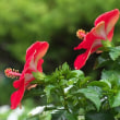 赤いハイビスカスの妖しさに魅せられました