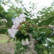 A white azalea