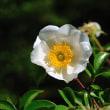 つる性の白いバラ、ナニワイバラが今年もたくさん咲きました。(Photo No.14303)