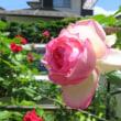 今年も咲いてくれました ピンクと真紅のバラ
