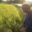 稲刈り体験は、今週末開催です◡̈