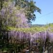 🐵 藤の花