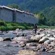 狩野川、良型鮎追い活発