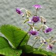 8月7日   イワタバコ開花