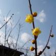 底冷え盆地にも初春の定番が