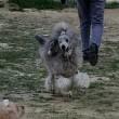 ミディアムプードルモモさんの子犬 *1ヵ月に成りました