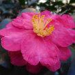 大根寿司づくりとサザンカの花。(11/17*金)