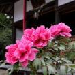 牡丹の名所・長浜市の「総持寺」へ