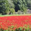 さいたま市西区にある大宮花の丘農林公苑では、朱色のサルビアの花が一面に咲いています