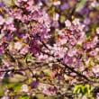 透過光のてんれい河津桜 (波切・大慈寺)