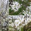 ザイフリボクの花は