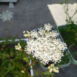 黄色の小エビ草
