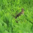 今日の野鳥  コジュリン ・ ホオジロ ・ タシギ