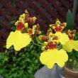 季節の花「オンシジューム」