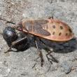 ヒメホシカメムシ幼虫