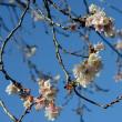 飛鳥山公園の十月桜(寒桜)・・1